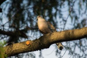 栃木県市貝町の鳥キジバト