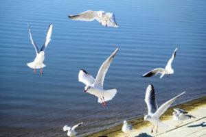 焼津市の鳥ユリカモメ