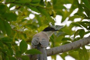 横浜市瀬谷区の鳥オナガ
