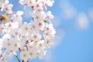 横浜市南区の花さくら