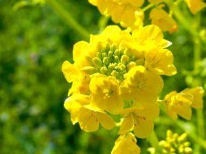 さいたま市北区の花菜の花