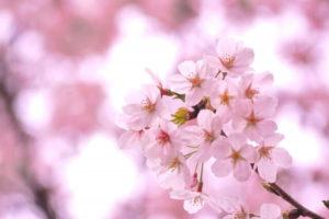 さいたま市大宮区の花さくら