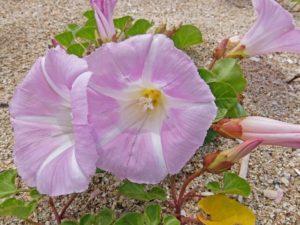 御前崎市の花ハマヒルガオ