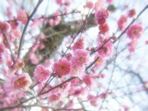 川崎市高津区の木ウメ
