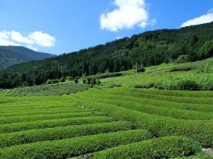 牧之原市の茶畑