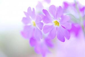 さいたま市桜区の花サクラソウ