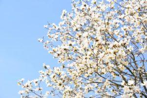 横浜市神奈川区の木こぶし