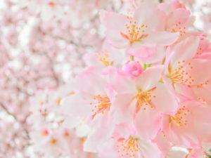 横浜市南区の花 さくら