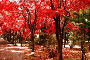 綾瀬市の木ヤマモミジ