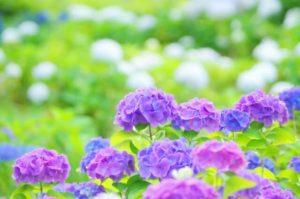 さいたま市西区の花紫陽花