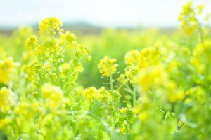 さいたま市北区の花ナノハナ