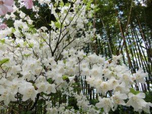川根本町の花シロヤシオ