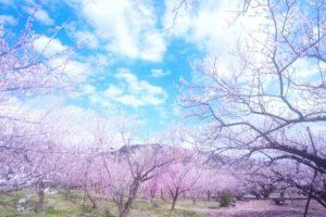 横浜市戸塚区の花さくら