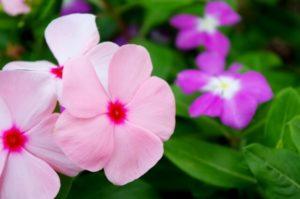 さいたま市浦和区の花ニチニチソウ
