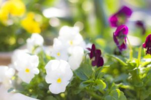 川崎市中原区の花パンジー