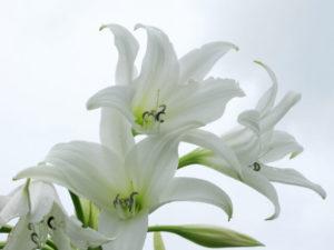 森町の花ユリ