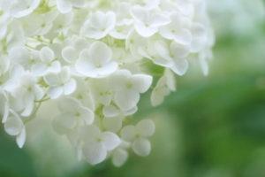 さいたま市西区の花アジサイ