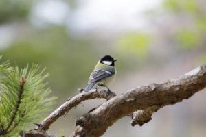 座間市の鳥シジュウカラ
