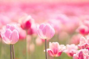 横浜市神奈川区の花チューリップ