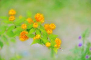 さいたま市岩槻区の花やまぶき