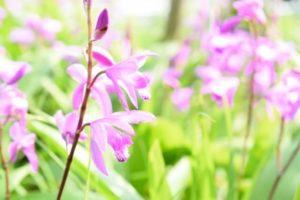 横浜市緑区の花シラン