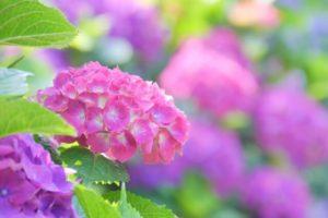 横浜市瀬谷区の花アジサイ