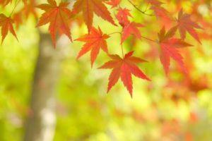 横浜市緑区の木モミジ