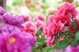 須賀川市の花ボタン