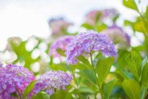 瑞穂市の花アジサイ