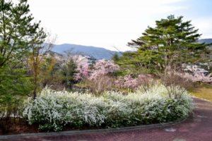 国見町の観月台公園の桜