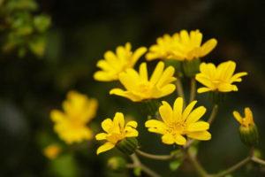 松崎町の花ツワブキ