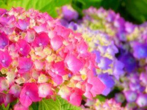 勝浦市の花アジサイ1