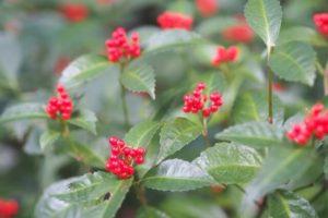 神栖市の花センリョウ