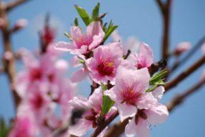 岩国市の花ツツジ