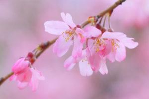 鏡石町の木しだれ桜