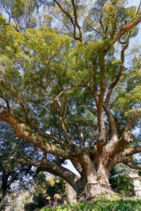 刈谷市の木クスノキ