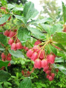 川内村の花サラサドウダン