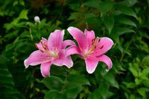 鮫川村の花ヤマユリ