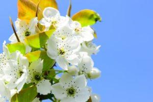 利府町の花ナシ2