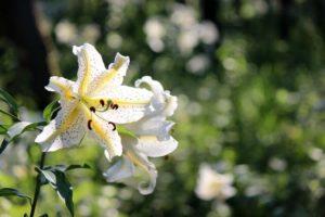 塩谷町の花ヤマユリ