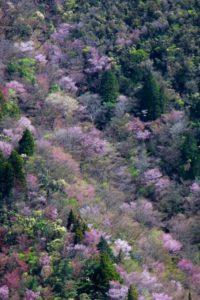 小山町の木フジ桜