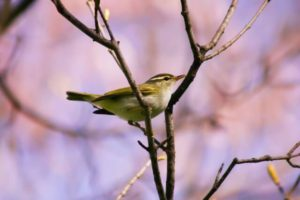 飯舘村の鳥ウグイス