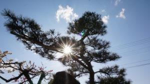 岩国市の木クロマツ
