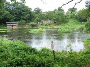 清水町の柿田川