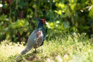 村田町の鳥キジ