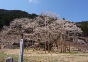 本巣市の根尾谷淡墨桜