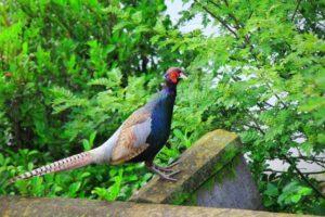 川崎町の鳥キジ