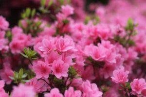 葛尾村の花ツツジ