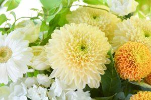 富谷市の花キク
