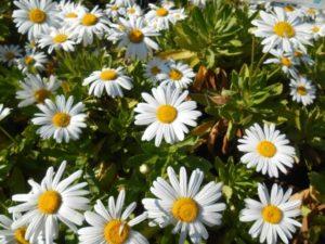 七ヶ浜町の花ハマギク1